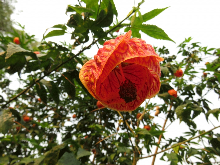 Red Tiger Abutilon